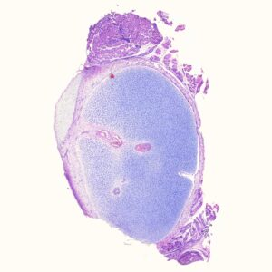 Human hyaline cartilage prepared human histology slides