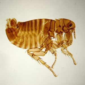 male flea whole mount prepared slides