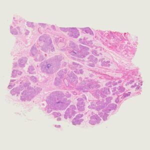 human salivary gland