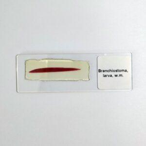 Branchiostoma lanceolatum