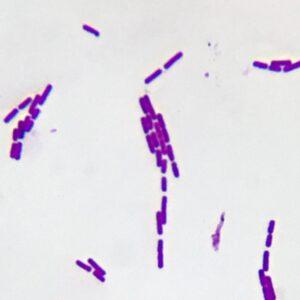 Bacillus subtilis smear