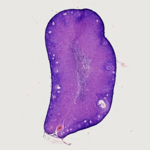 Rabbit young ovary sec.