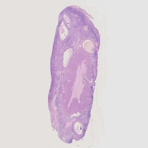Human Ovary section, H.E. Stained, human histology slides China wholesale supplier