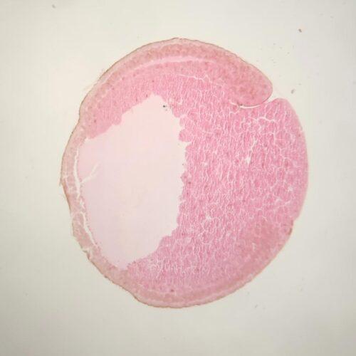 frog embryo early gastrula stage sec.