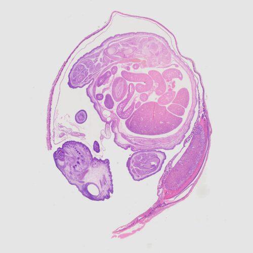 Rat embryo sagittal section prepared slides, 7 µm, H&E Stain